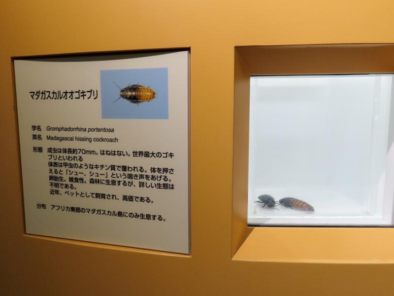 マダガスカルオオゴキブリの生体展示