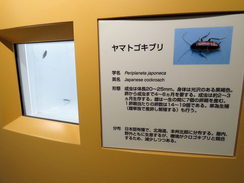 ヤマトゴキブリの生体展示