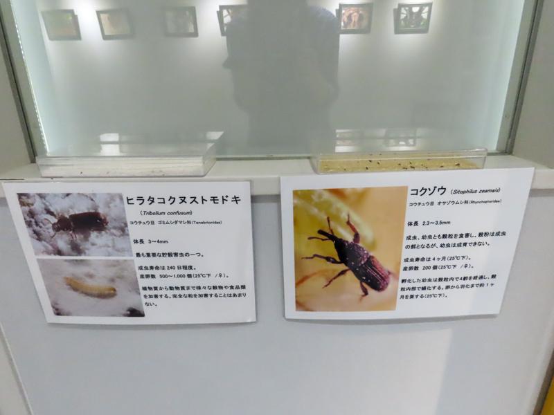 ヒラタコクヌストモドキとコクゾウムシの生体展示の様子