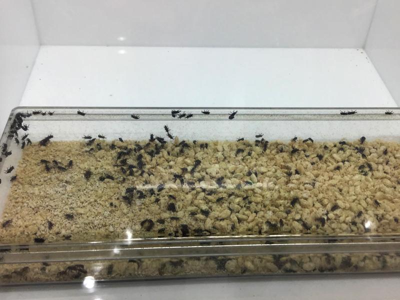 お米から出てくるコクゾウムシの生体展示