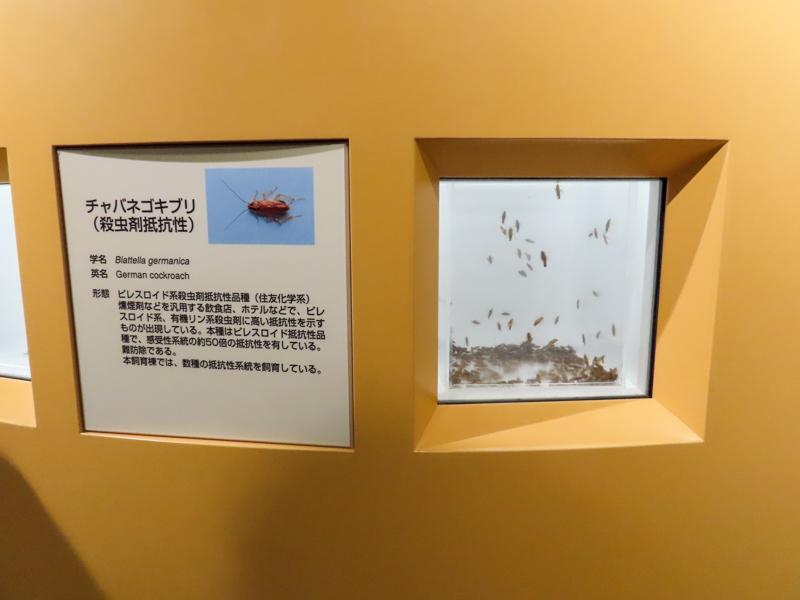 チャバネゴキブリ(抵抗性ゴキブリ)の生体展示