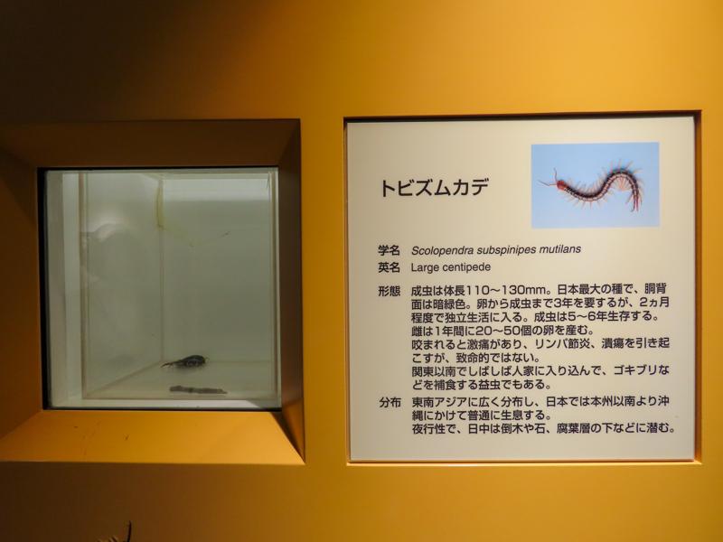 トビズムカデの生体展示の様子