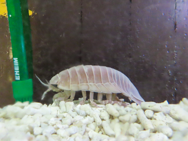 オオグソクムシの生体展示