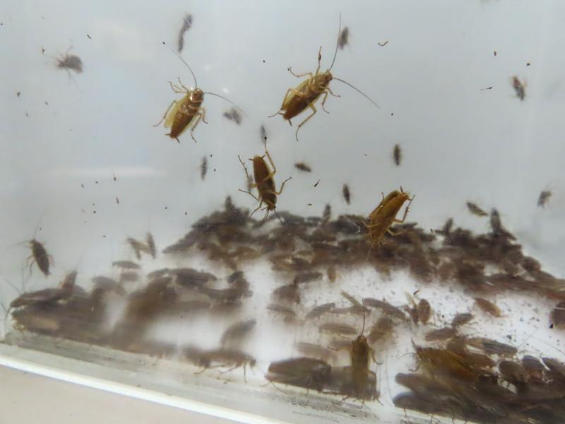 抵抗性をもつチャバネゴキブリの生体展示