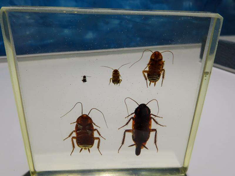 クロゴキブリの標本をアクリル樹脂で固めた展示品