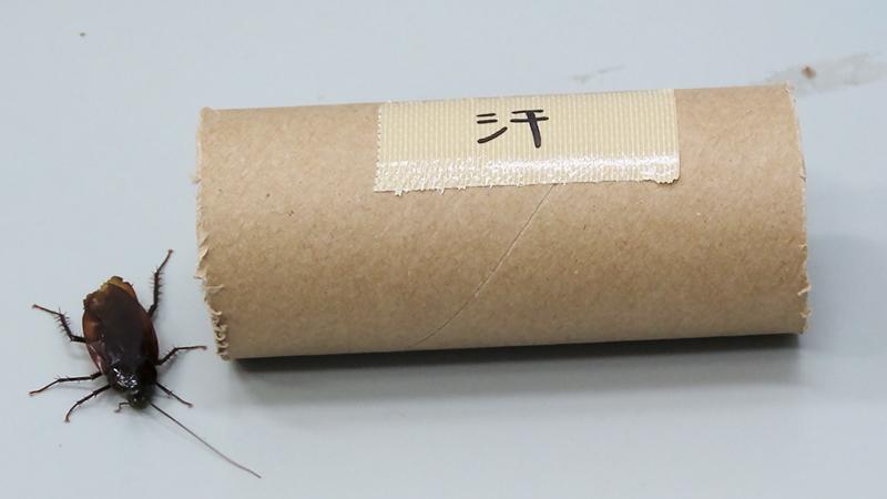 汗の匂いを付けた脱脂綿入りの紙の筒に集まるクロゴキブリ