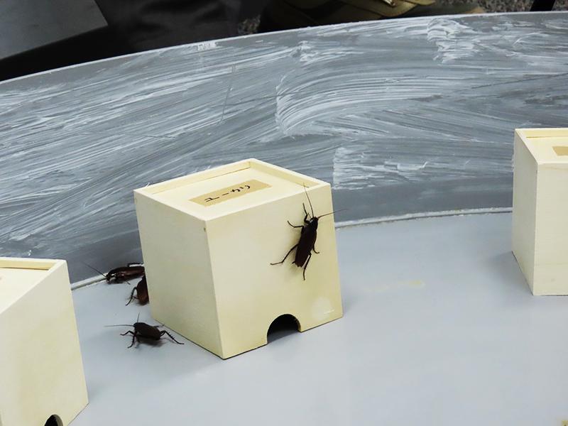 ユーカリの匂いを付けた脱脂綿入りの小箱にクロゴキブリが張り付く様子s