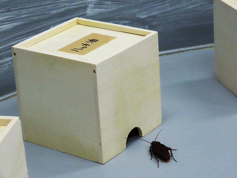 ハッカの匂いを付けた脱脂綿入りの小箱にクロゴキブリが入る様子