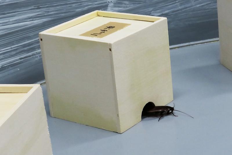 ハッカの匂いを付けた脱脂綿入りの小箱からクロゴキブリが出てくる様子
