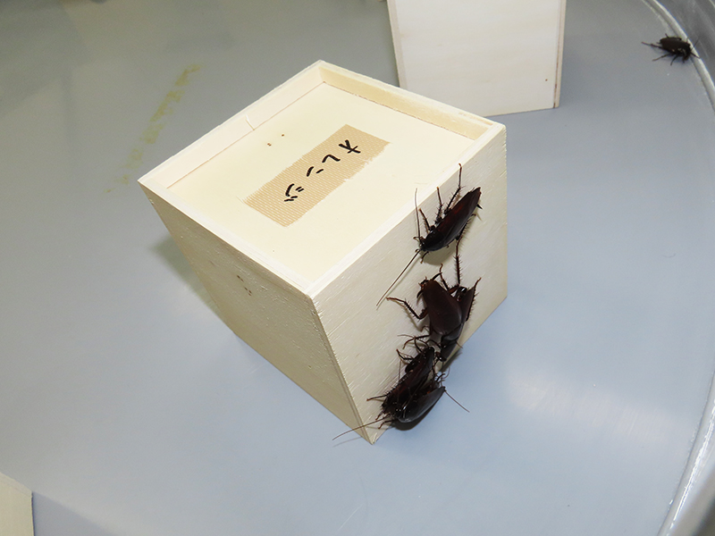 オレンジの匂いを付けた脱脂綿入りの小箱にクロゴキブリが群がる様子