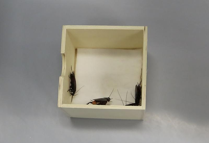 水を付けた脱脂綿入りの小箱の中にいるクロゴキブリ