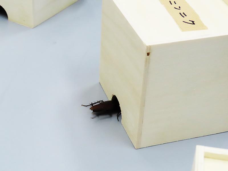 ニンニクの匂いを付けた脱脂綿入りの小箱に入ろうとするクロゴキブリ