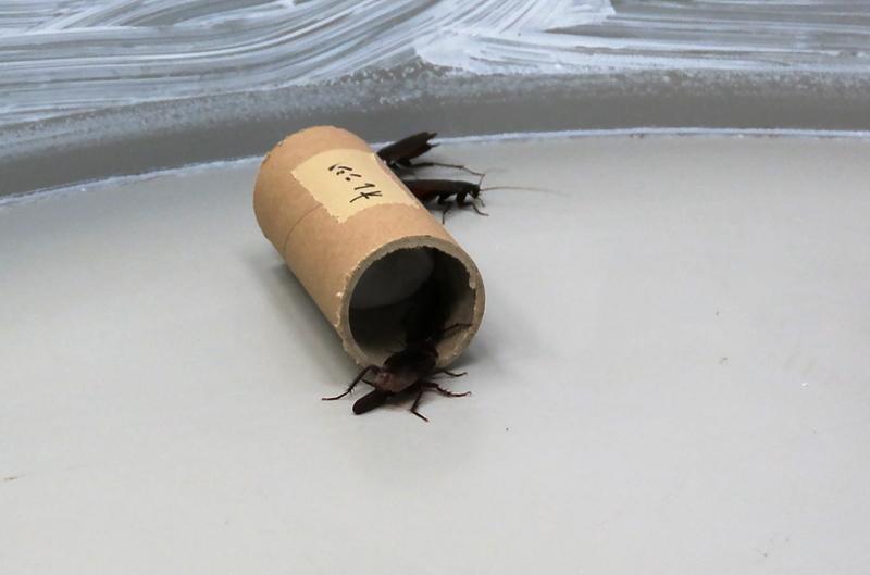 オレンジの匂いを付けた脱脂綿入りの紙の筒に集まるクロゴキブリ