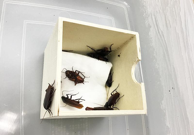 水を付けた脱脂綿入りの小箱に隠れているクロゴキブリを出す様子