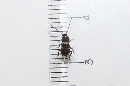 写真付】日本のゴキブリ4種の生態(特徴・寿命・生息地・成長