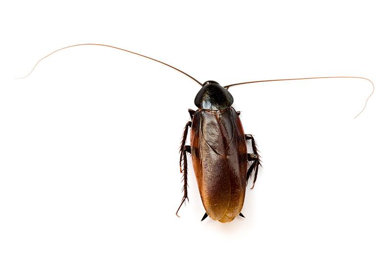 クロゴキブリ成虫