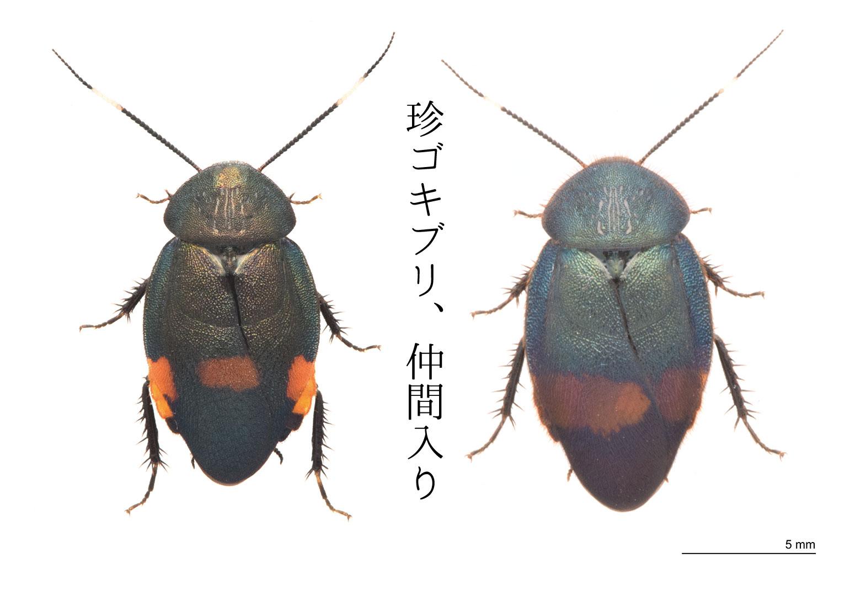 アカボシルリゴキブリとウスオビルリゴキブリの写真