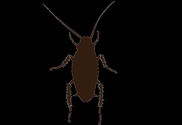 クロゴキブリの成虫