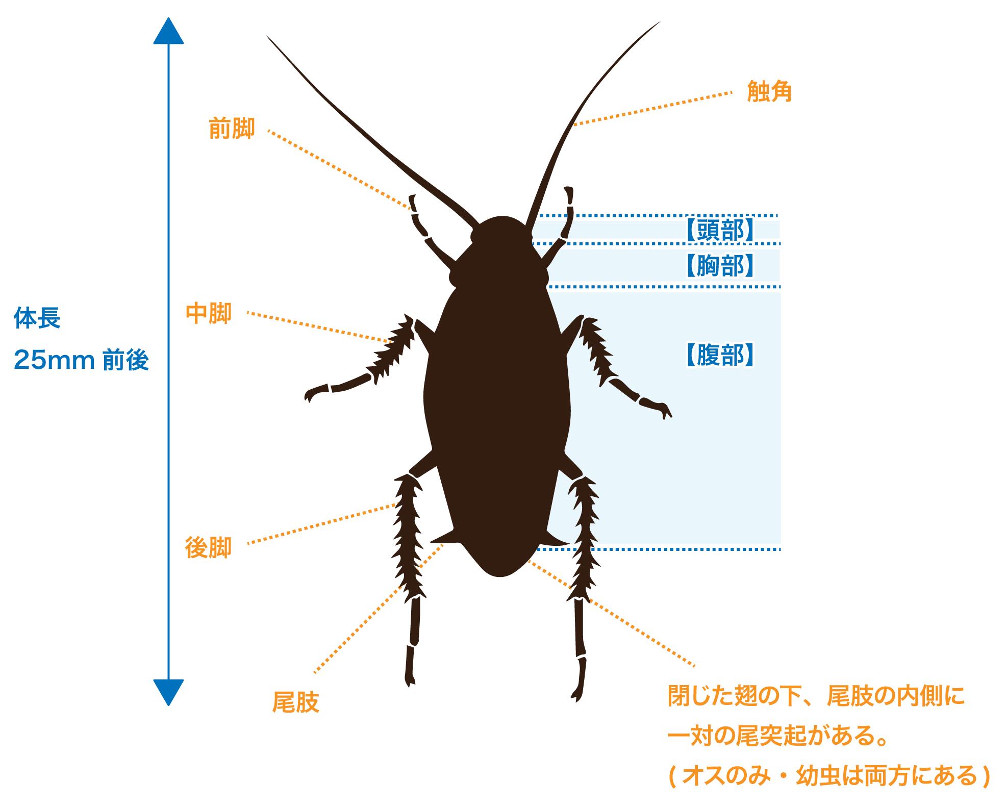 体長25mm前後のクロゴキブリの体のつくり。閉じた翅の下に一対の尾突起がある(オスのみ・幼虫は両方にある)