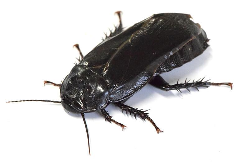 オオゴキブリ成虫