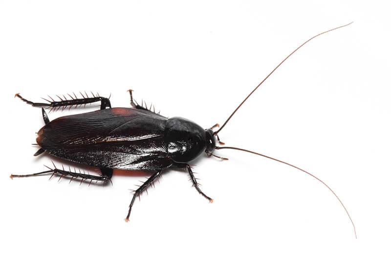 ウルシゴキブリ成虫