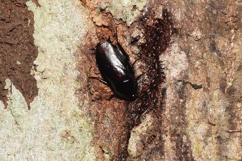ウルシゴキブリが木の幹にいる様子