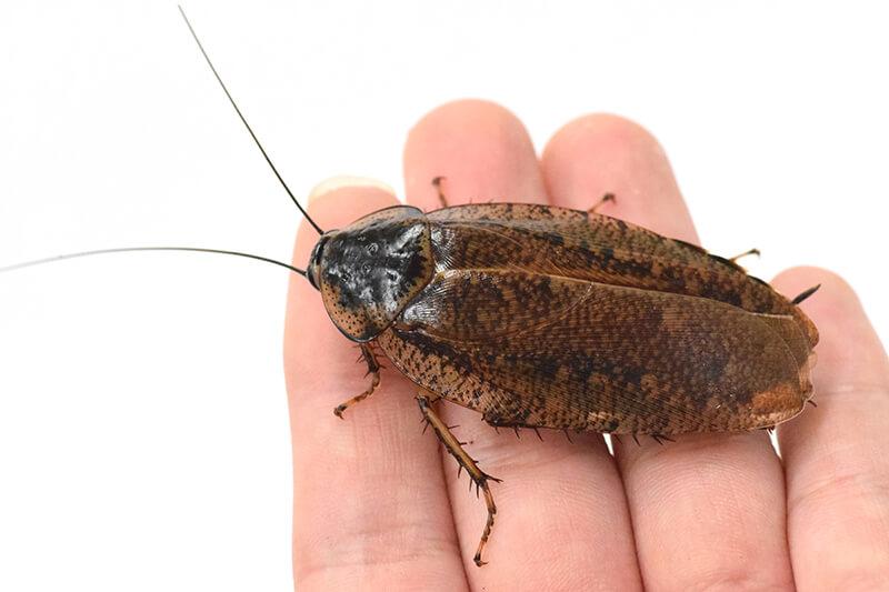 手に乗っているヤエヤママダラゴキブリ成虫