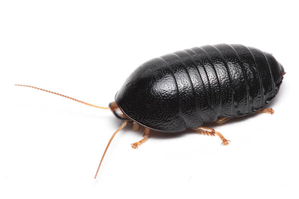 ヒメマルゴキブリ成虫