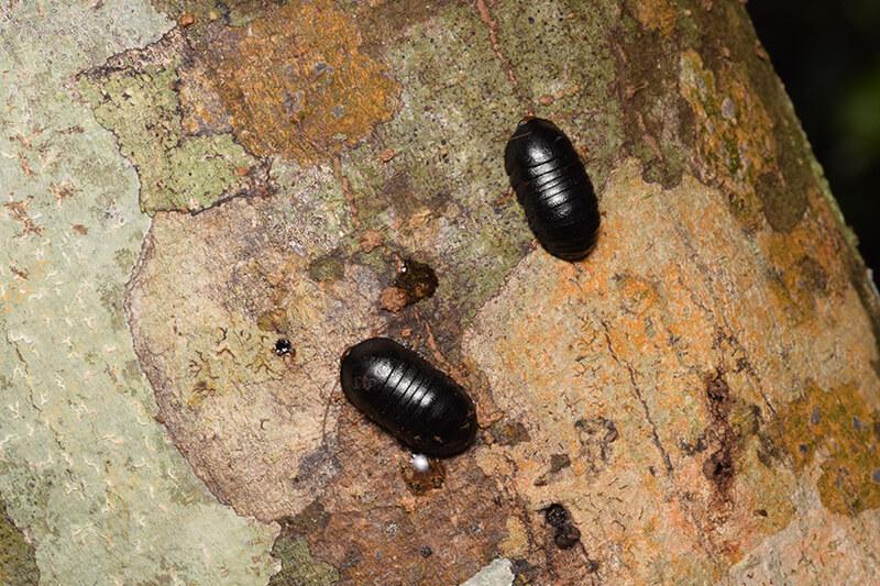 ヒメマルゴキブリ2匹