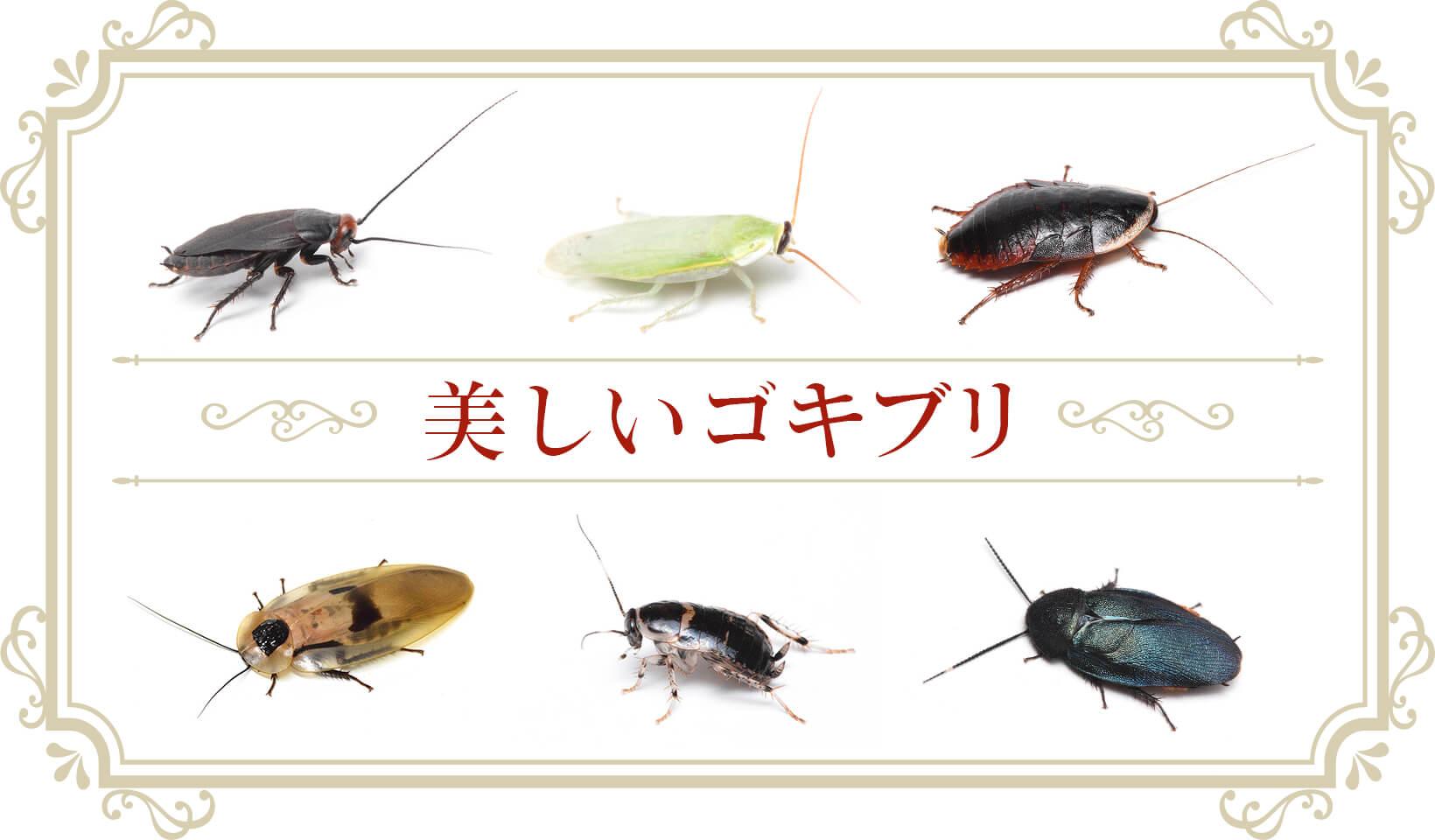 美しいゴキブリ オレンジヘッドビュレットローチ、グリーンバナナローチ、サツマゴキブリ、ブラベルスギガンテウス、フタテンコバネゴキブリ、ルリゴキブリ