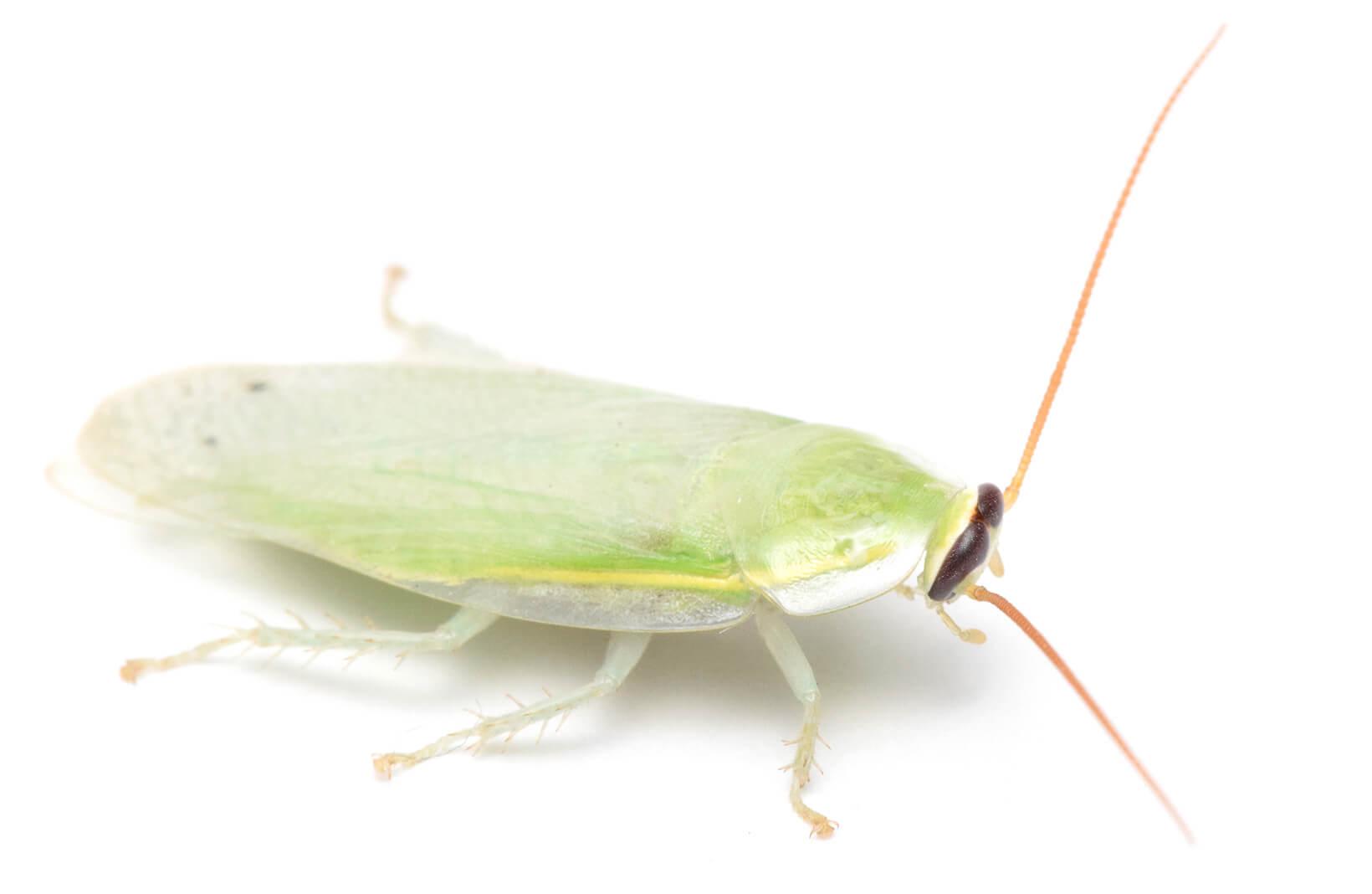 グリーンバナナローチ