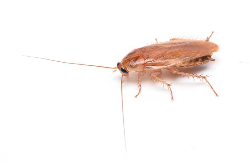 リュウキュウモリゴキブリ