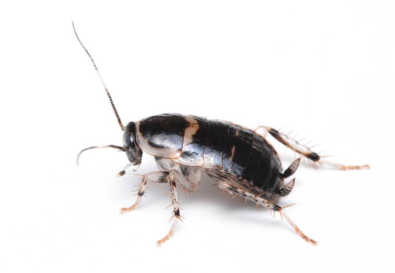 フタテンコバネゴキブリ