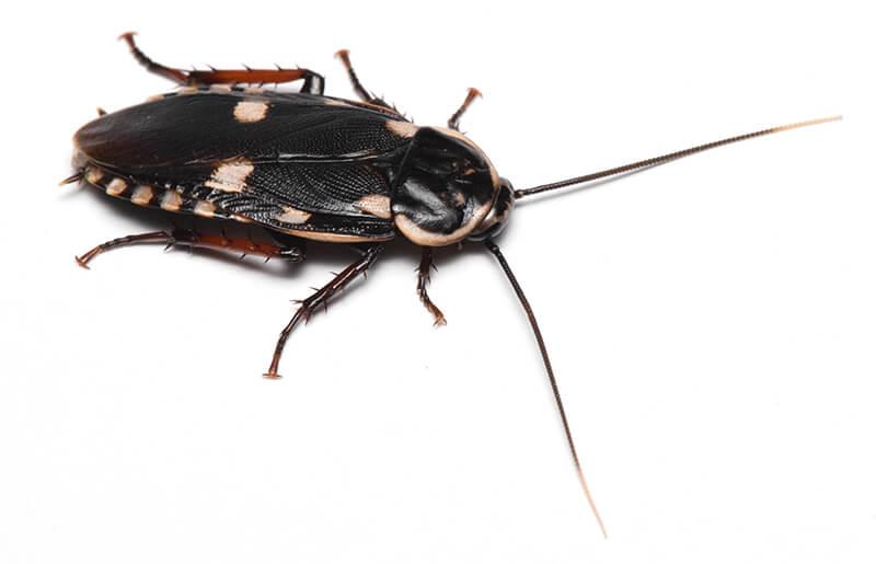 モンシロゴキブリ