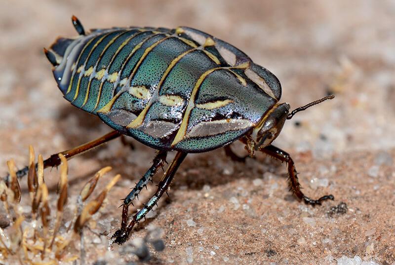 キンイロゴウシュウゴキブリ