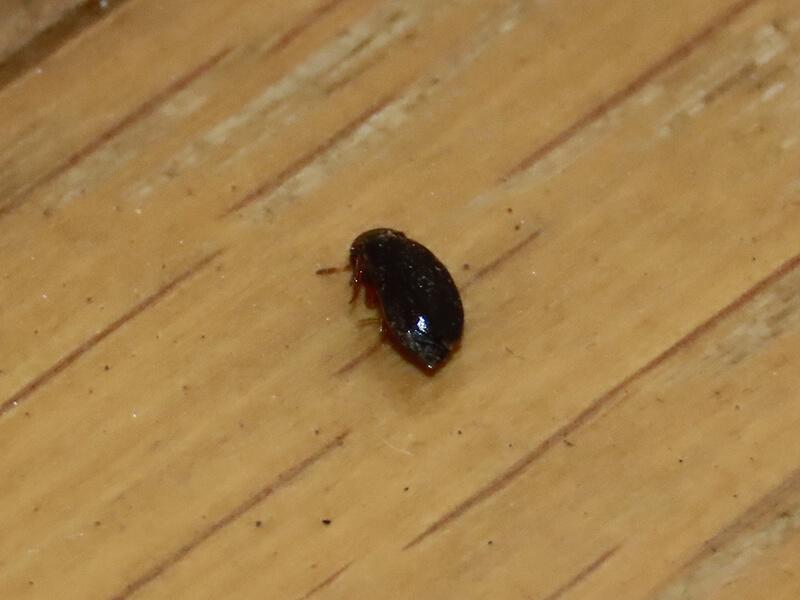 洋室で死んでいたタバコシバンムシと思われる虫