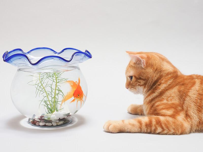 金魚鉢で泳ぐ金魚を見つめる猫