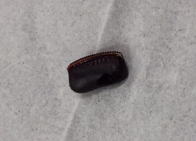 クロゴキブリの卵鞘