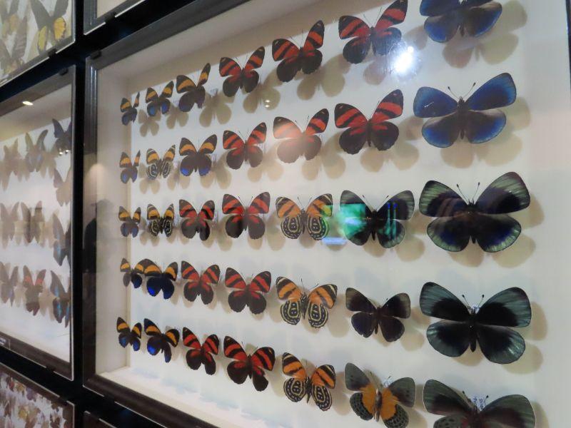 展示されたチョウの標本