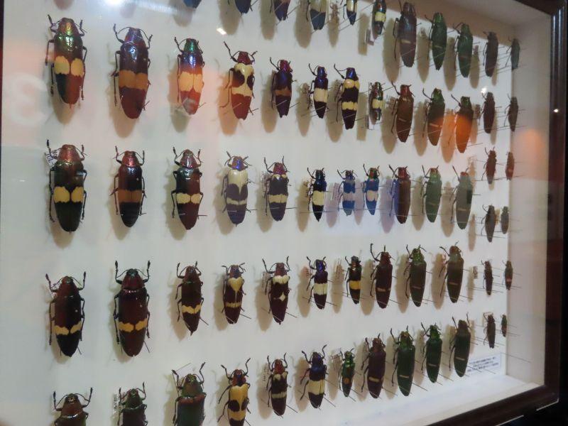 展示されたタマムシの標本