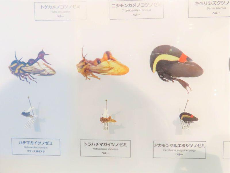 ツノゼミの標本とイラスト