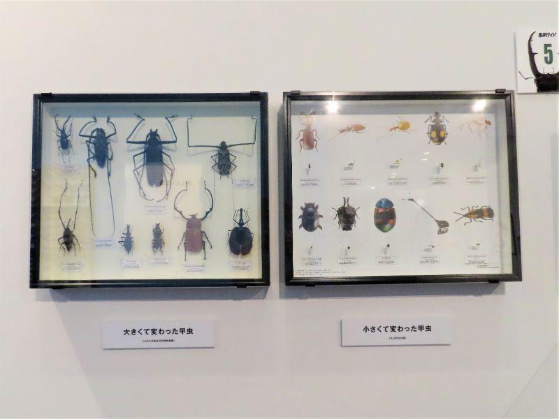 甲虫の標本