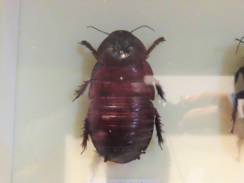 ヨロイモグラゴキブリの標本