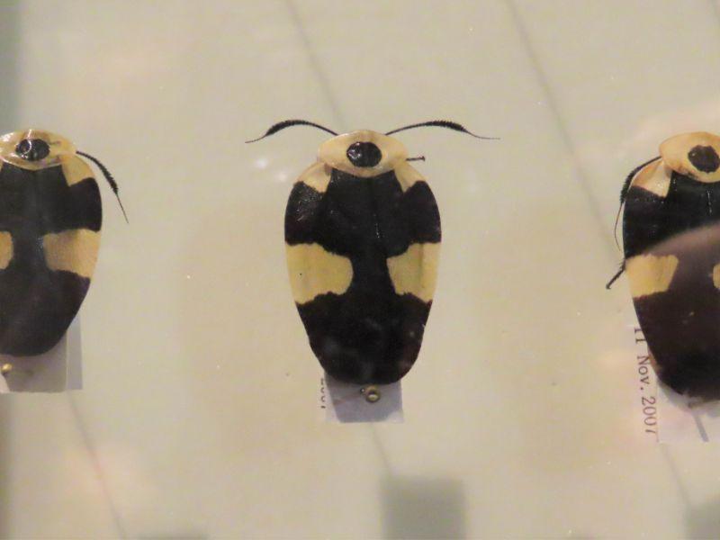 """フデヒゲゴキブリの標本"""""""