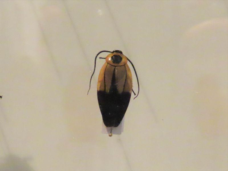 ハンゲゴキブリの標本