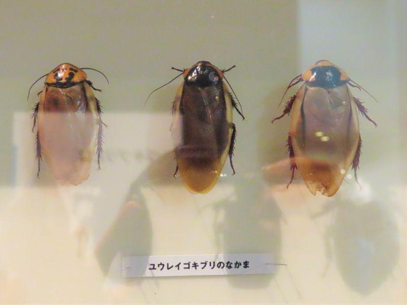 ユウレイゴキブリの標本