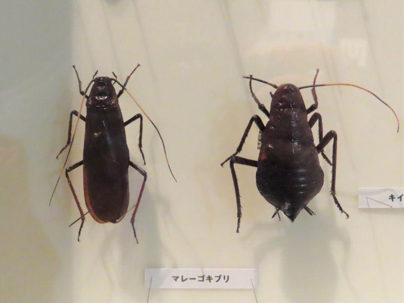 マレーゴキブリの標本