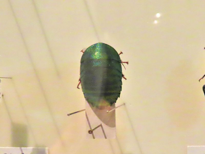 ケンランマルゴキブリの標本