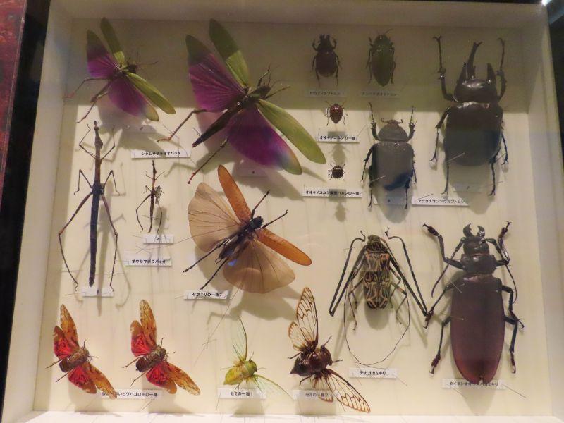 沖縄県に生息している昆虫の標本