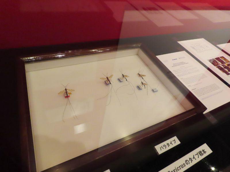 大阪市立自然史博物館の主任学芸員 松本吏樹郎さんが発見した寄生バチのホロタイプ標本